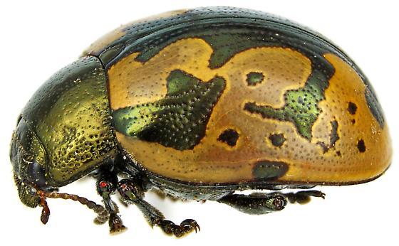 Calligrapha ancoralis - female