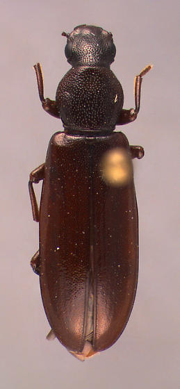Boridae? - Boros unicolor