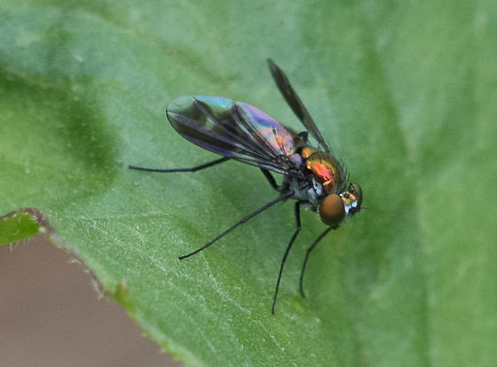 long-legged fly--Condylostylus patibulatus? - Condylostylus patibulatus