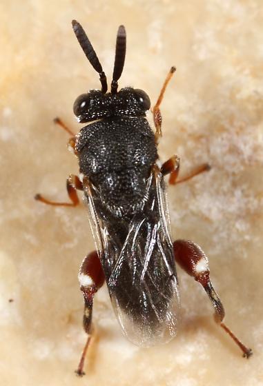 Wasp - Brachymeria podagrica