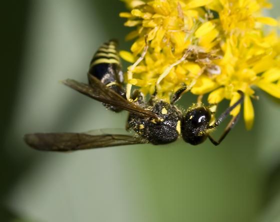 Wasp - Ancistrocerus