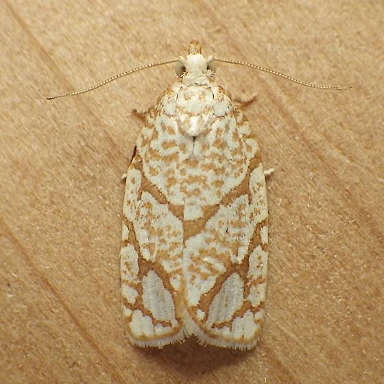 Tortricidae: Argyrotaenia quercifoliana - Argyrotaenia quercifoliana