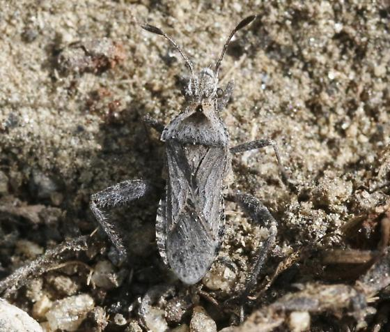 Stachyocnemus? - Stachyocnemus apicalis