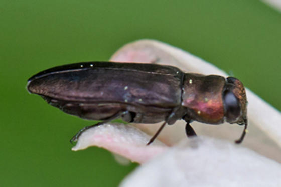 metallic wood-boring beetle - Anthaxia