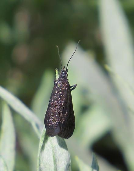 Unknown Moth (Adelidae)? - Pyla scintillans