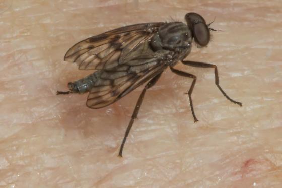 little fly on my arm - Rhagio punctipennis - male