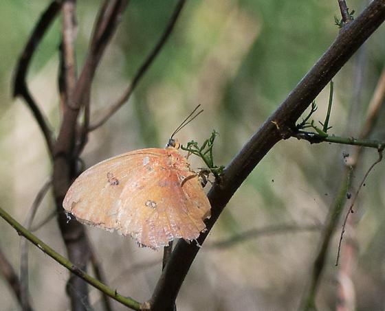 Orange Sulphur? - Phoebis philea