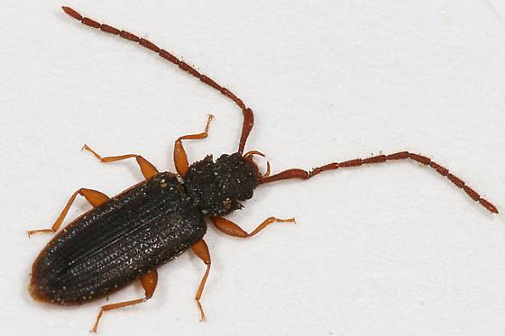 Silvanid Flat Bark Beetle - Uleiota debilis