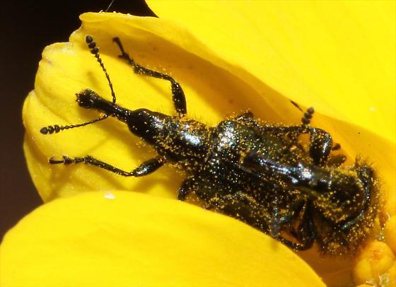 Weevil on Brittlebush - Haplorhynchites - male - female
