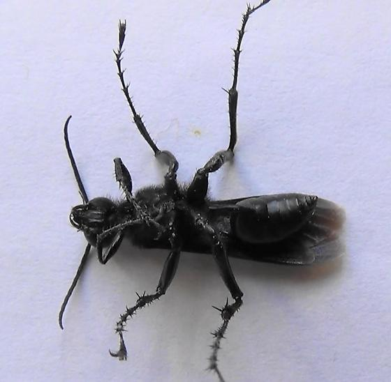 Thread-waisted Wasp Segmented (ventral) - Prionyx - male