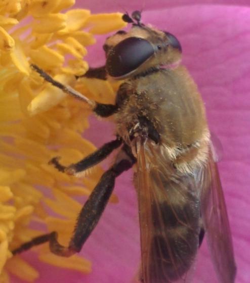 Syrphidae? - Lejops curvipes