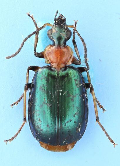 Lebia viridipennis  - Lebia viridipennis
