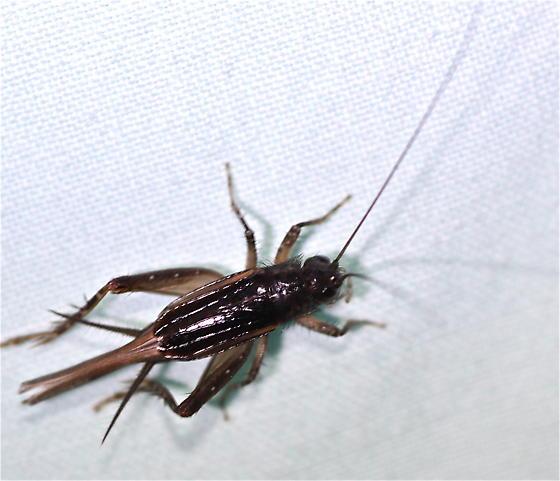 Blacklight Cricket - Eunemobius - female