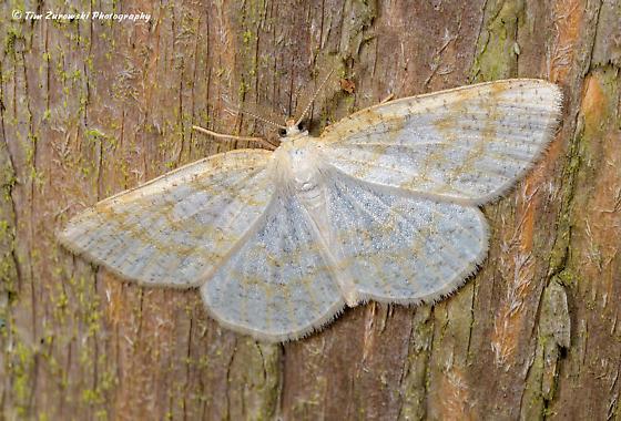 Unknown Moth - Cabera erythemaria - male