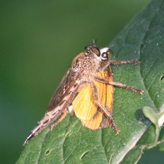 Robber Fly with Least Skipper prey