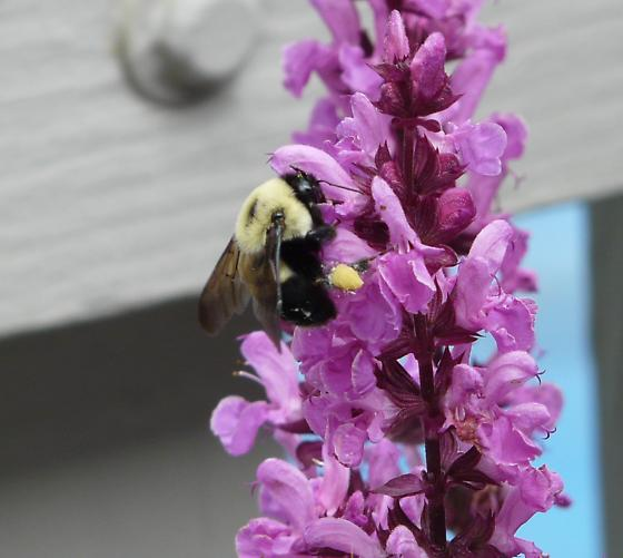 Some kind of bee - Bombus griseocollis