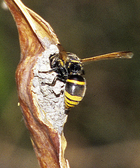 Pachyodynerus guadulpensis female on a mud nest on a Palo Verde pod - Pachodynerus guadulpensis - female