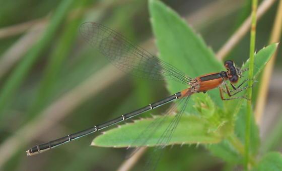 Rambur's Forktail - Ischnura ramburii - female