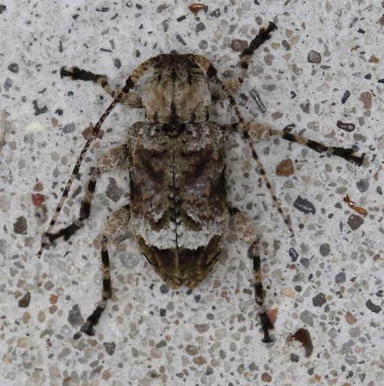 Insect - Leptostylus transversus