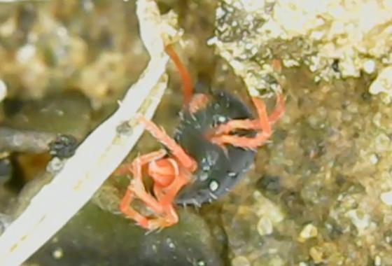 Black and red mite in lichen - Penthaleus major