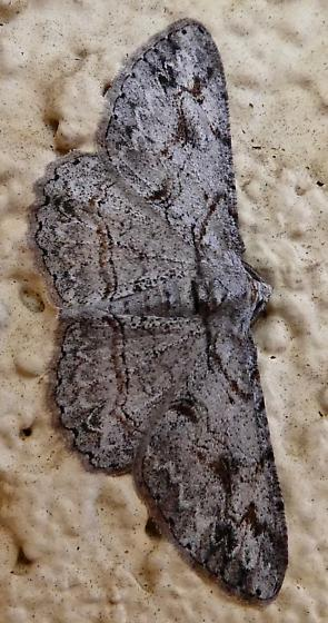 Iridopsis? - Iridopsis fragilaria - male