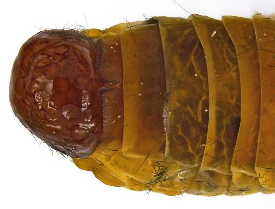 Female, Phylloicus mexicanus? - Phylloicus mexicanus - female