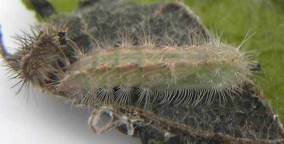 Oidaematophorus eupatorii  - Oidaematophorus eupatorii