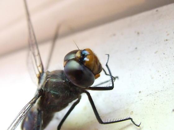 Black-mantled dragonfly