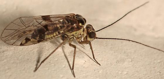 Barklouse - Hyalopsocus striatus - male