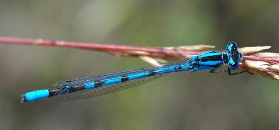 Northern Bluet - Enallagma annexum - male