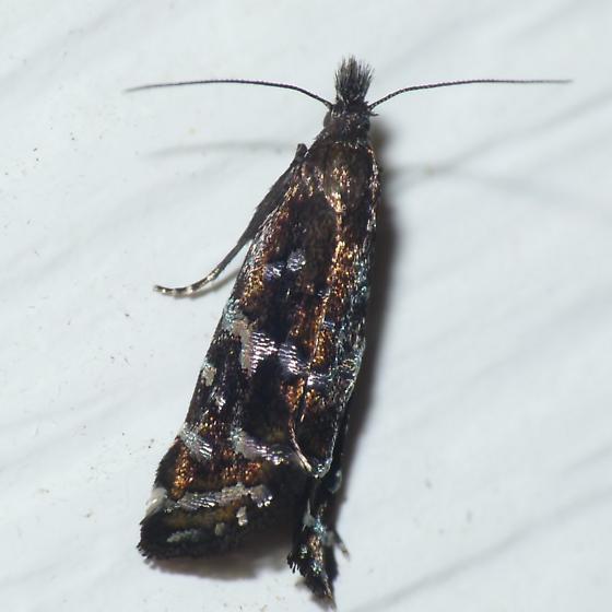 Sedge Moth - Drymoana blanchardi