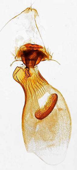 genitalia - Tacparia detersata - female