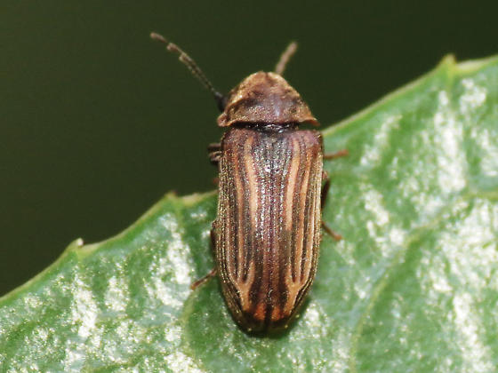 beetle.. - Vrilletta decorata