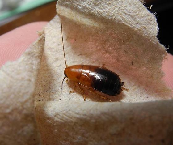 Desert wood roach - Parcoblatta desertae - female