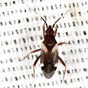 Bug - Fulvius anthocoroides