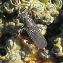 Unknown diptera - Oedoparena