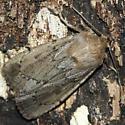 moth - Ufeus satyricus