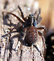 Spider sp - Pardosa