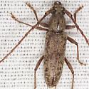 Spined Oak Borer Beetle - Elaphidion mucronatum