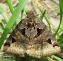 moth 3 - Euclidia cuspidea