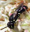 Little Black Wasp - Hylaeus