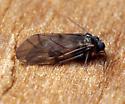 Peripsocus madidus - male