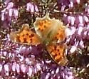 Comma species Victoria bc - Polygonia satyrus