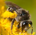dark and fuzzy bee - Andrena