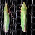 Draeculacephala antica? - Draeculacephala