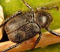 Coleoptera - Hoplia trivialis