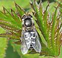 Syrphid Fly - Eupeodes? - Scaeva pyrastri - female