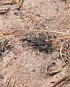 Twelve-spotted Tiger Beetle? - Cicindela duodecimguttata