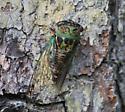 Cicada Species