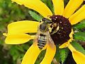 Bee sp. - Megachile latimanus